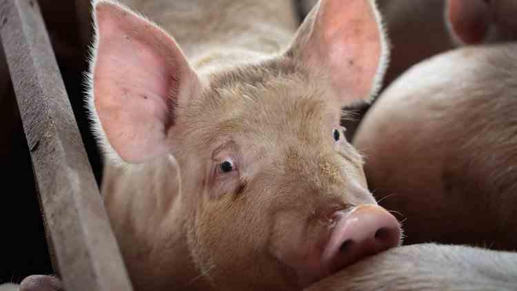 Risc de nouă pandemie - O tulpină mortală a pestei porcine africane face ravagii într-o provincie din China