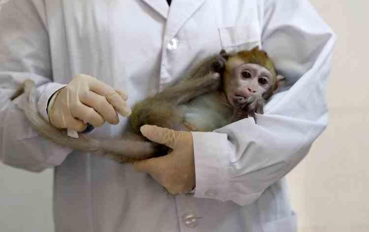 Maimuțele care au primit un vaccin anti-coronavirus au devenit imune la boală