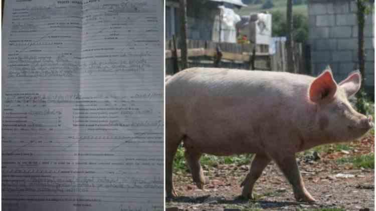 Povestea porcului evadat - Sătmăreanca sancționată de Poliție va contesta amenda