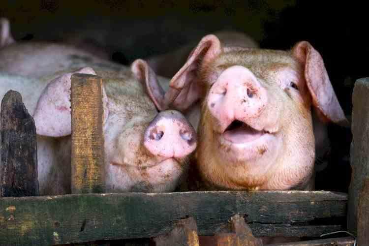 Un fermier de 72 de ani a fost mâncat de porcii pe care îi creştea