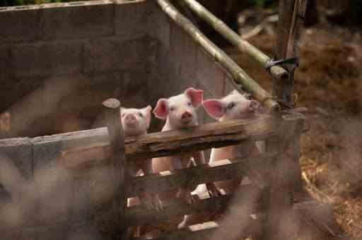 Creșterea porcilor în gospodării nu va dispărea, deși chestiunea s-a discutat și la Bruxelles