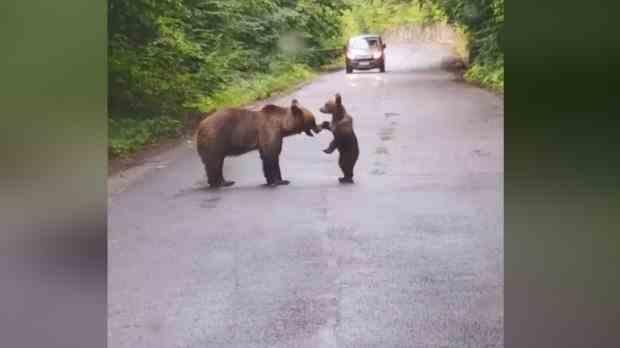 Ursoaică și puiul ei: joacă pe mijlocul drumului