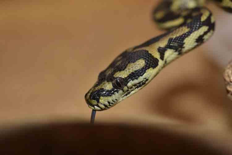 Mușcată în somn - O femeie s-a trezit cu un șarpe atârnat de sprânceană