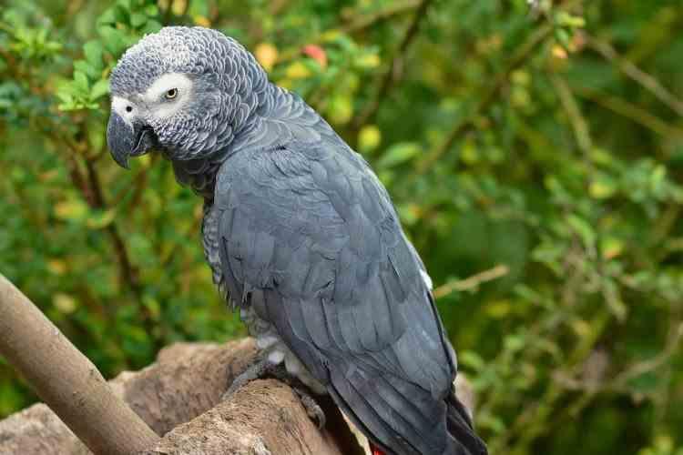 Cinci papagali au fost trimiși la izolare pentru că îi înjurau pe vizitatorii unei grădini zoologice