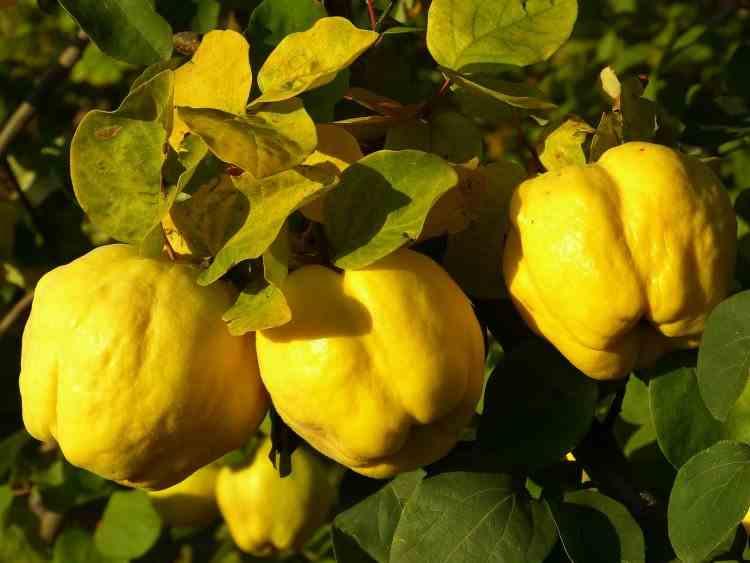 Mărul de Aur - Impactul consumului de gutui asupra organismului