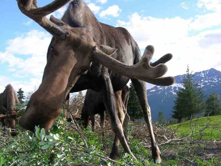 Nu lăsati elanii să vă lingă mașinile - Avertismentul ciudat al autorităților din Canada