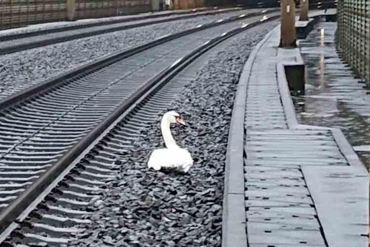 Zeci de trenuri din Germania au avut întârzieri din cauza unei lebede îndoliate