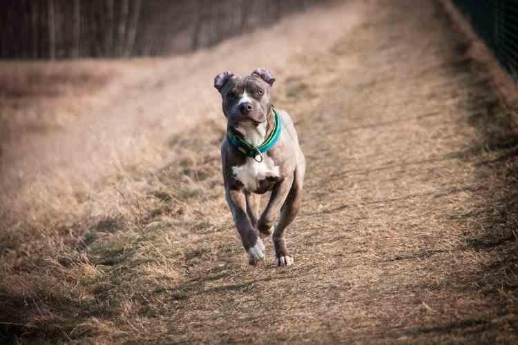 Instanța din Iași a decis confiscarea a doi câini de luptă care au mușcat patru persoane