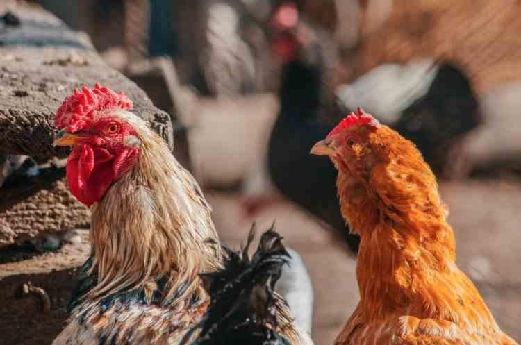 După Mureș, un focar de gripă aviară a fost confirmat și la o gospodărie din Harghita