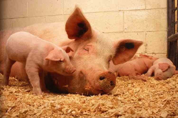 Limitarea numărului de porci crescuţi pentru consum propriu a fost eliminată