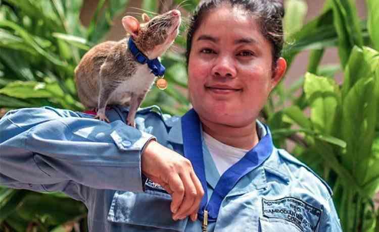 Magawa, șobolanul erou din Cambodgia, a ieșit la pensie