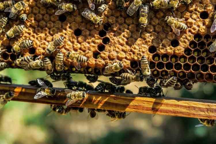 Milioane de albine au murit în județul Botoșani - Apicultorii dau vina pe agricultori