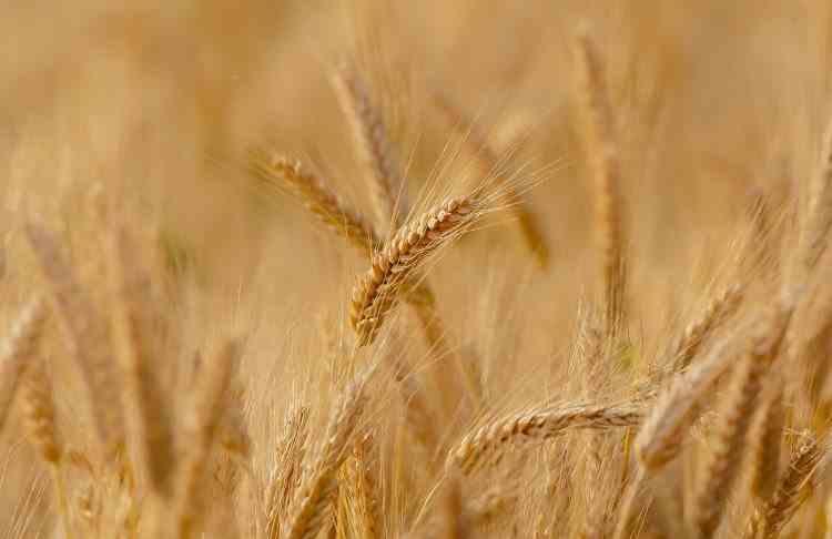 Oficial: România are cea mai bună producție de grâu de la data aderării în Uniunea Europeană